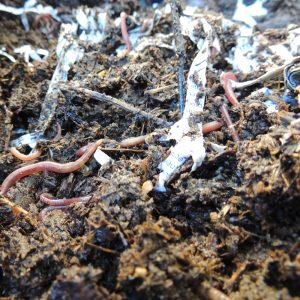 Worms In Compost Close Up